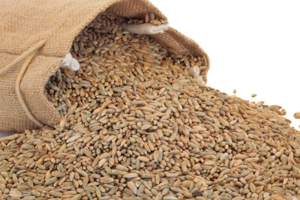 Amish Organic Rye Berries 25 lb