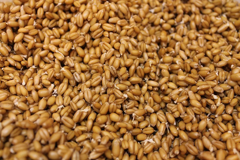 Amish Organic Ancient Red Sprouted Wheat Berry 25 lb
