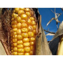 Amish Organic Whole Open Pollinated Corn 25 lb